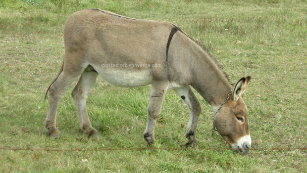 Donkey-is-hiding-its-ass